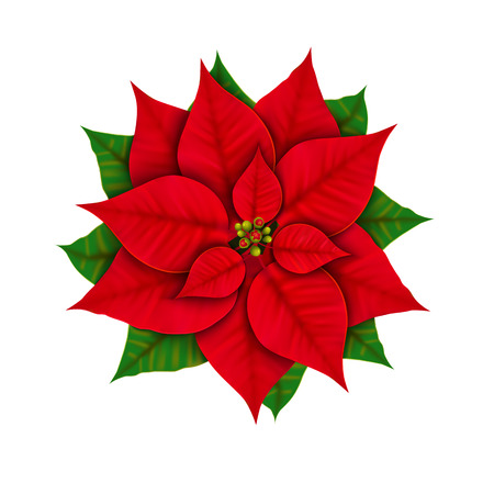 Christmas star flower isolated on white background top view. Poinsettia close-up.
