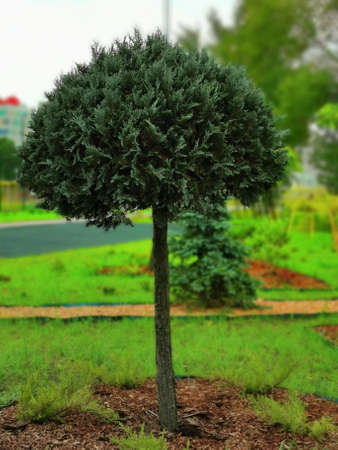 One tree species boxwood on the lawn. Thick crown on a thin trunk. 版權商用圖片