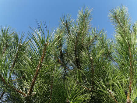 Gorgeous, beautiful pine branches with long needles. Close-up photo. Stock Photo