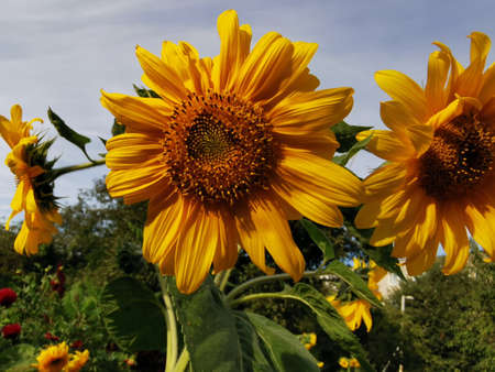 Sunflower. Beautiful large flower buds, close-up photo.