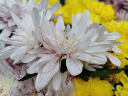 Beautiful buds of pink chrysanthemums with drops of dew, rain. Close-up photo.