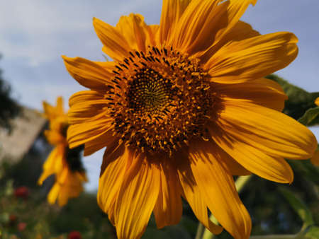 Bright yellow sunflower flowers against blue sky and green meadow. Close-up photo. Stock Photo