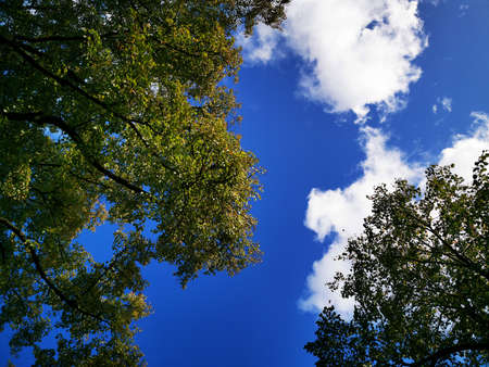 Bright blue sky, clouds and treetops. Photo bottom up