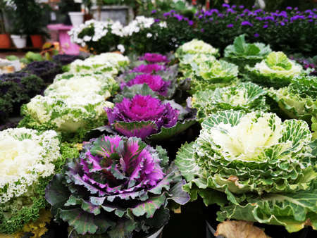 Decorative cabbage. Beautiful heads in the form of flowers. Sale in store