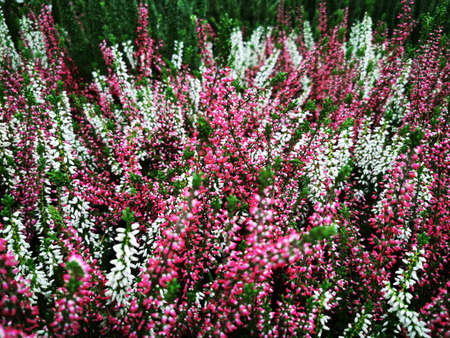 Thick Heather. Sale in the store of grown flowers. Beautiful pattern. Nature background. Natural landscape. Vibrant color. Summer landscape. Summer scenery. Rural pattern. Beautiful Heather