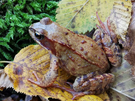 Close-up photo of forest frog. Autumn forest natural landscape. Fall season. Moss background. Outdoor photography. Natural pattern. Beautiful frog.