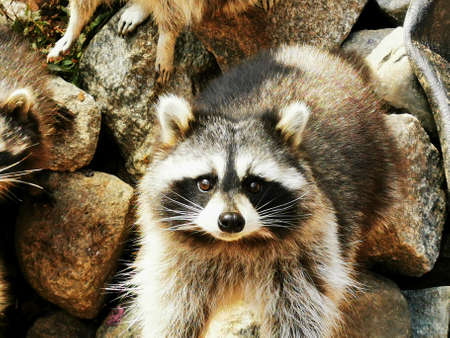Cute, fluffy raccoon with a kind face. Close-up photo