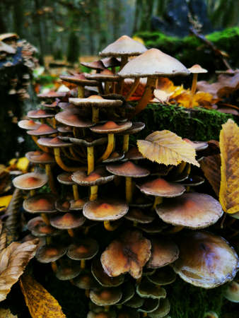 Black toadstools on a stump in Fall forest. Forest trees. Fall day. Autumn tranquil background. Stockfoto