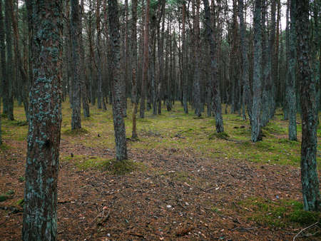 Twisted trunks of the trees, the Dancing forest of Curonian spit. Autumn garden. Forest sunlight. Nature background. Beautiful background. Standard-Bild - 136448074