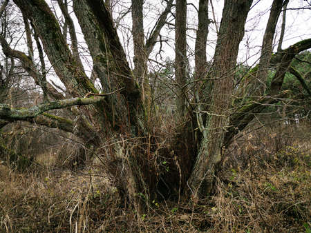 Many trunk tree. Beautiful wood texture background. Tree branch. Old tree trunk. Autumn forest. Standard-Bild - 136437574