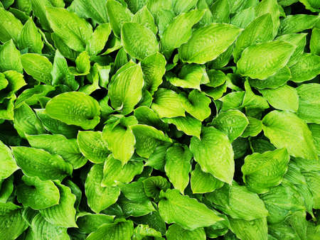 Fresh green leaves of the host plant. Natural background and wallpaper. Foliage pattern. Photo. Banque d'images