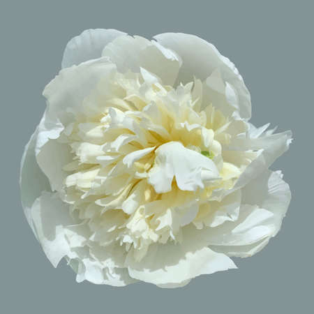 White peony is a beautiful flower in the garden