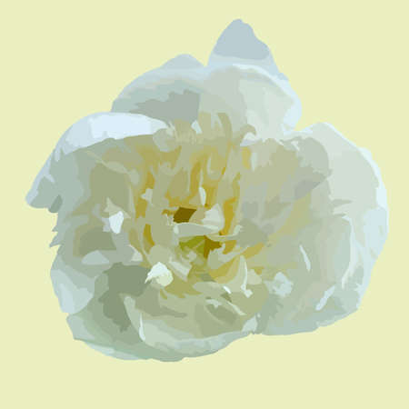 Peony white is a beautiful flower in the garden