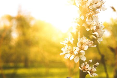 Apple tree in beautiful evening sun light. Close up. Place for your text.