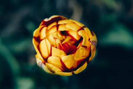 Close up image of closed yellow flower of tulip. Imagens