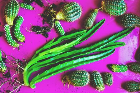 Kids of cactuses in a pink pallet. Many bright green small cactuses ready for planting. Imagens