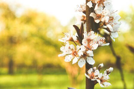 Close up of an apple tree branch in beautiful evening sun light. Place for your text. Imagens
