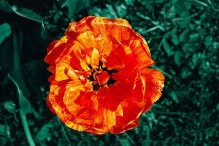 Close up image of closed orange flower of tulip.