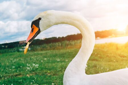 Close up image of swan with cookies in its beak. The shore of the lake at sunset.