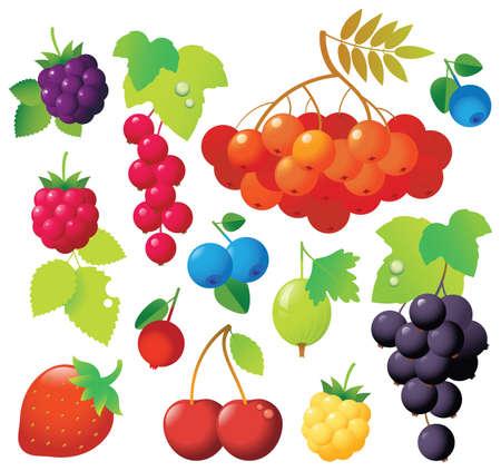 moras: Dulce bayas maduras en un archivo: ashberry, grosella, grosellas rojas, negro grosellas, ar�ndanos, cowberry, cereza, mora. Frescos y sabrosos.