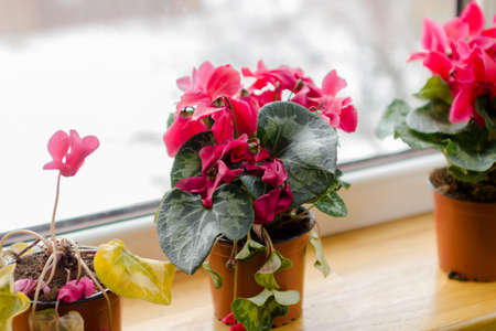 Sycamore red cyclamen flowers in pot on a window in balcony