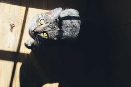 Tabby cat basks in the sun on a wooden background indoors. Concept of animal adoption. Copyspace