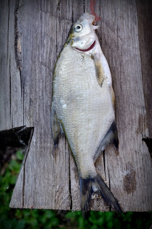River fish over old wooden plank board photo
