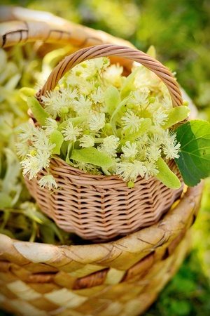hepatic: medical linden flowers harvest wicker basket on summer grass Stock Photo