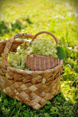 linden flowers: medical linden flowers harvest wicker basket on summer grass Stock Photo