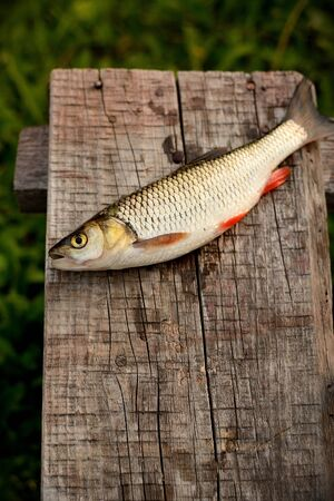abramis: Just caught fresh water fish lying on net near river  Fish is alive  Vimba vimba also called vimba bream or Abramis vimba