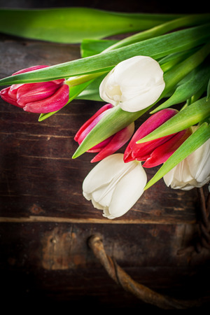 Pinkand white  tulips on a wooden background with space for text photo