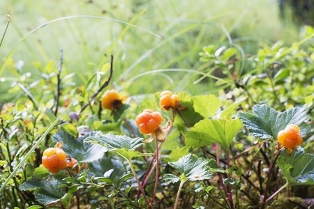 chicouté: Ripe juicy cloudberries in the northern forest in a swamp covered with drops of dew