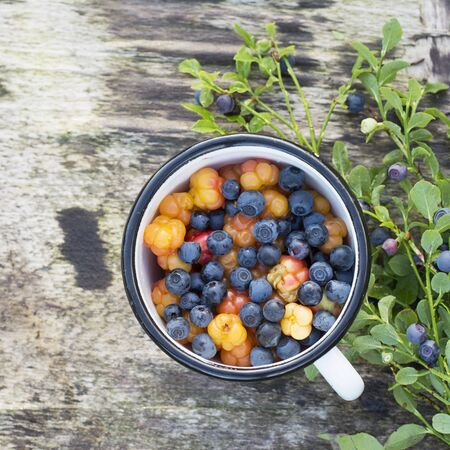 chicouté: White enamel mug on wooden gray background in a forest full of ripe cloudberry northern and juicy blueberries. The concept of healthy organic natural seasonal food.