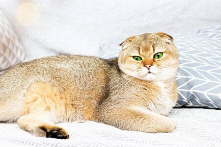 Scottish fold red-haired apricot ticked cat lies on a gray bedspread surrounded by pillows. Cozy house with a cat in scandy style. Good home furnishings with pets., 版權商用圖片