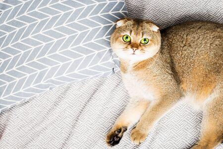 Scottish fold red-haired apricot ticked cat lies on a gray bedspread surrounded by pillows. Cozy house with a cat in scandy style. Good home furnishings with pets. 版權商用圖片
