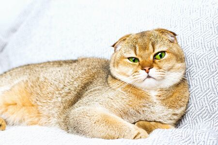 Beautiful purebred scottish fold red ginger peach ticked cat in a modern stylish interior Standard-Bild