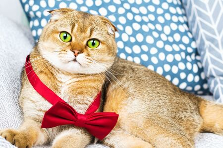 Scottish fold red-haired apricot ticked cat in a red bow tie lying surrounded by pillows in a stylish minimalistic modern interior. Horizontal. Homely view 版權商用圖片