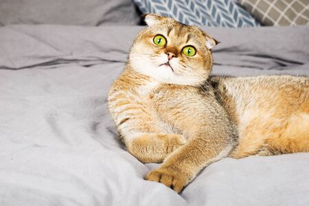 Red ginger scottish fold young cat on gray linen background. The concept of favorite pets in a warm home circle. Scandy style, minimalism. Simplicity, 版權商用圖片