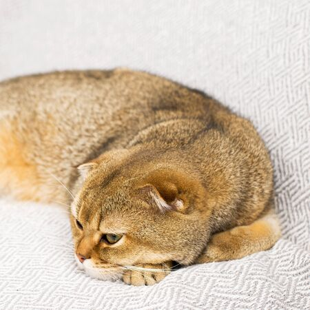 Cute ginger cat Scottish fold on a background of gray linen. The concept of home cute comfort with your favorite pets. Ecology at home. Horizontal.. 版權商用圖片