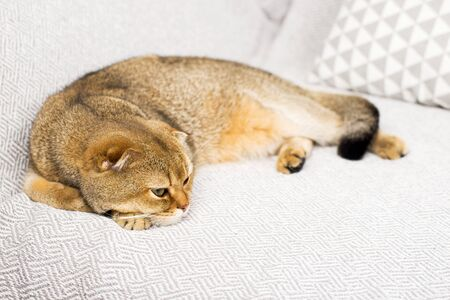 Cute ginger cat Scottish fold on a background of gray linen. The concept of home cute comfort with your favorite pets. Ecology at home. Horizontal.. Standard-Bild