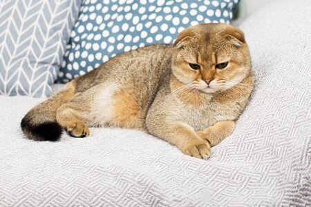 Lindo gato jengibre Scottish fold sobre un fondo de lino gris. El concepto de hogar lindo confort con tus mascotas favoritas. Ecología en casa. Horizontal..
