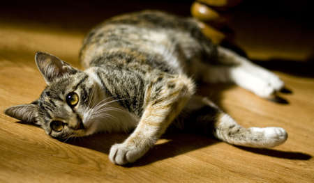 Cat laying on a wooden floor