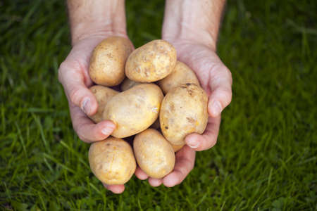 Group of fresh potatoes in farmers hands photo