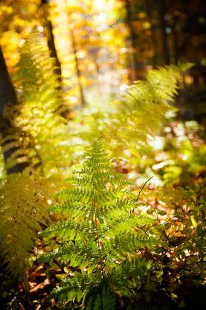 fem: Autumn detail photo of fem taken in woods, in polish Beskidy mountains, Krawcow Wierch