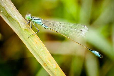 macrophotography: Macro photography of little dragonfly