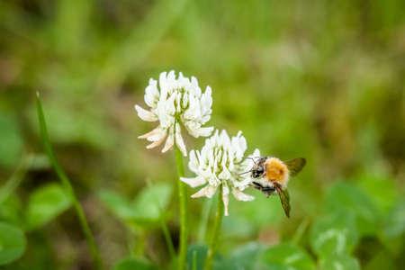 macrophotography: Macro photography of big bee
