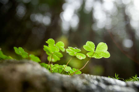 Beautiful green clover closeup - st Patrick day concept - 17 march photo