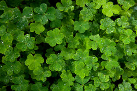 Beautiful green clover closeup - st Patrick day concept - 17 march Banque d'images