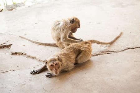 east asia: Monkey in Khao Takiab temple in tahi Hua Hin. Fauna of south east Asia. Stock Photo