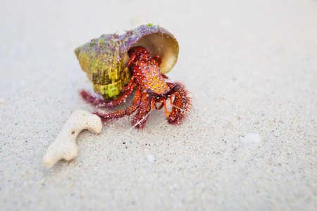 decapod: Beautiful red crab on beach on tropical island Koh Phangan in Thailand. Fauna of Chalokum beach. Stock Photo